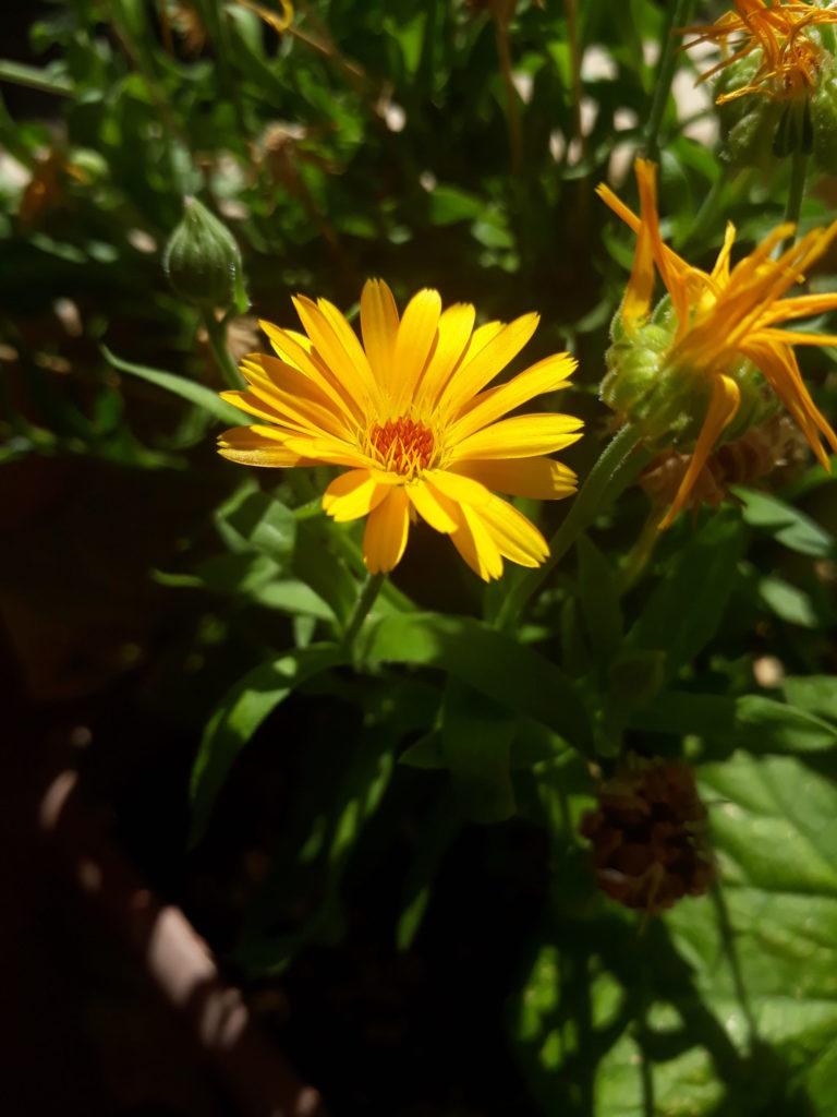 Fleur de soucis