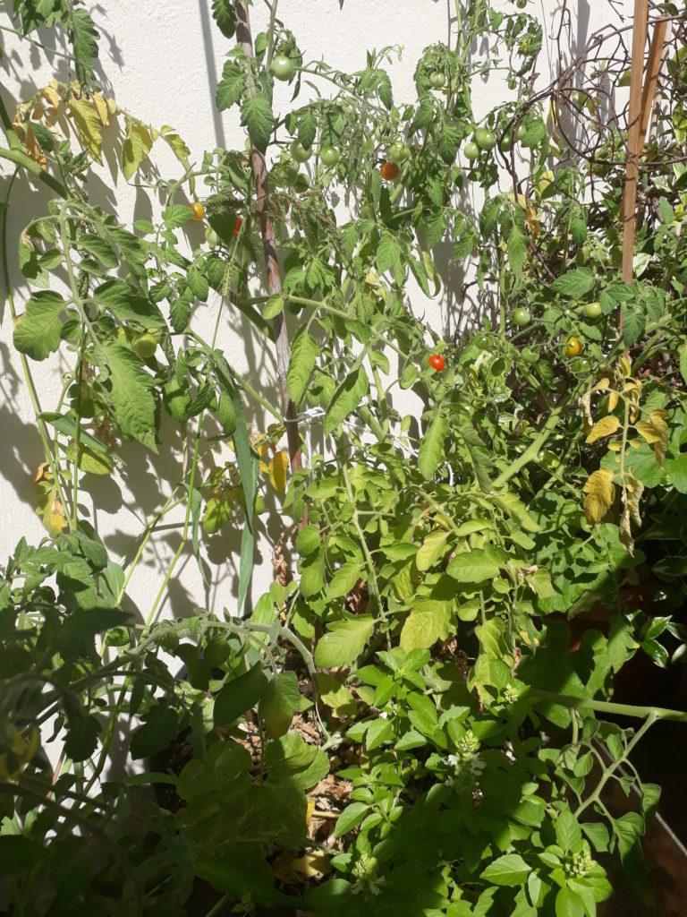 Plan de tomates cerises